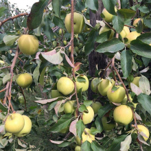 NingXia New Golden Delicious Organic Golden Delicious