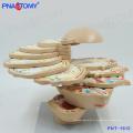 PNT-1612 Tête de disque grandeur nature Cerveau Modèle anatomique