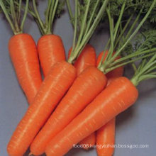 fresh carrots specification