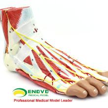 MUSCLE11 (12035) Modèle anatomique médical de pied avec le muscle et les navires démontables de 9 pièces 12035