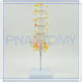 PNT-01212 good quality model for lumbar vertebra OEM