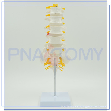 PNT-01212 high quality skeleton Lumbar Vertebrae model for sale