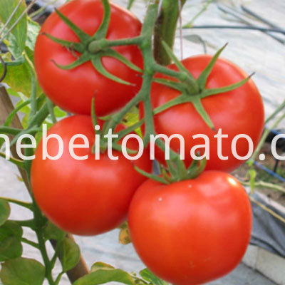 2016 new crop xinjiang tomato paste