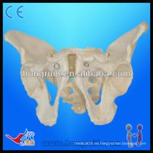 Modelos de esqueleto pélvico de tamaño natural, pelvis adultos masculinos