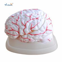 Modèle d'anatomie cérébrale avec artères