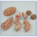 PNT-0611 Anatomy Education Teaching Model Life Size Deluxe Brain With Arteries
