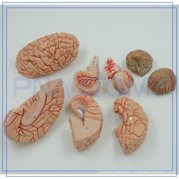 PNT-0611 Factory direct sale human brain anatomical models with low price
