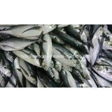 Hardtail Scad Gefrorener Fisch