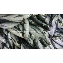 Hardtail Scad peixes congelados