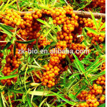 Hot sell sea buckthorn extract seabuckthorn