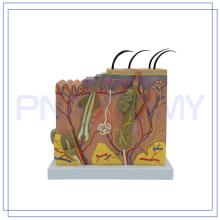 ПНТ-0552-1 Лучший продавец большой размер обучение анатомии кожи человека модель