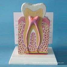 Menschliche normale Zähne Struktur Modell für Demonstration