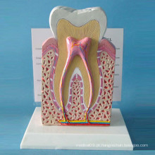 Modelo de Estrutura de Dentes Normal Humanos para Demonstração