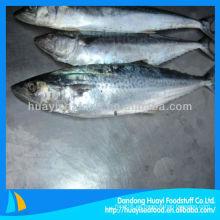 Fresh spanish mackerel para la venta