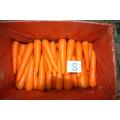 Color rojo fresco zanahoria hermosa
