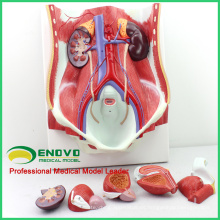 UROLOGY06 (12426) Medical Anatomy Sistema urinario humano de doble sexo in situ, masculino y femenino Vejiga intercambiable