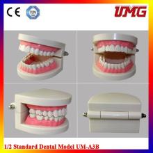 Wholesale School Supplies Dental Model and 1/2 Standard Brushing Model