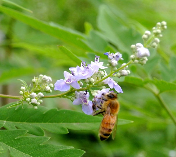 Vitex Flower And Bee
