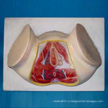 Женская промежность Малая артерия мышц и нервная система Анатомия