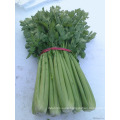 nutritious vegetables IQF fresh celery