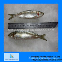 Canned product raw fresh sardine