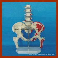 Le modèle médical Pelvis et Five Lumbar with Femur