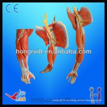 Modelo de brazo ISO con los principales vasos y nervios, modelo de músculos anatómicos