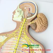 BRAIN18 (12416) Entfernbares Gehirn zerteilt nervöses System-medizinisches anatomisches Modell