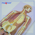 PNT-0439 Advanced anatomical medical Human Nervous System model