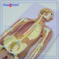 ПНТ-0439 Расширенный анатомический медицинский модель нервной системы человека