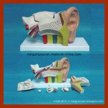 Modèle médical d'oreille anatomique de centre-gauche (type UU 6 PCS)