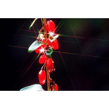 Fruta de la baya de Ningxia Goji