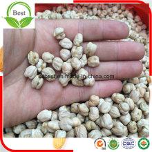 Grade nova de Kabuli dos grãos-de-bico da colheita