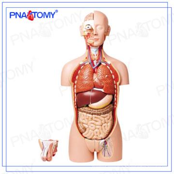 PNT-0300 85cm 27 pièces torse humain modèle, dos ouvert, double sexe
