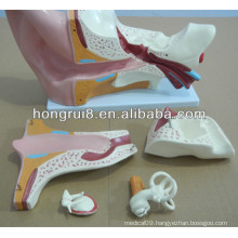 ISO New Style Giant Ear Model, Anatomical Ear Model