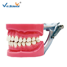 Dental Model Hard gum
