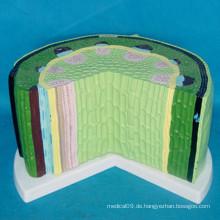 Dicotyledon Stems Anatomisches Modell für die Lehre (R200113)
