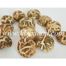 Cogumelo Shiitake da flor do chá seco fresco de 2.5-3cm