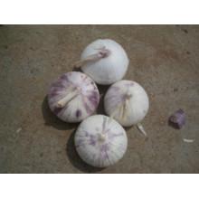 Alho fresco Solo (4,0-4,5 cm)