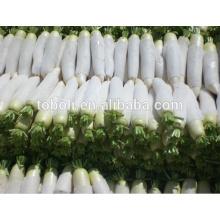 China fresh Radish