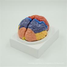 Горячие детали анатомического мозга