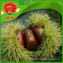 Chinese Chestnuts in Mesh Bag with competitive export price