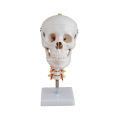 Crâne avec colonne cervicale