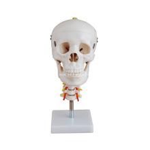 Cráneo con columna cervical