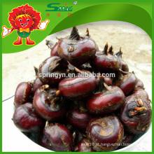 Melhor água castanha orgânica plantação ricos nutrição fruta vegetal