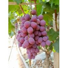 Свежие Глобальной Красного Винограда
