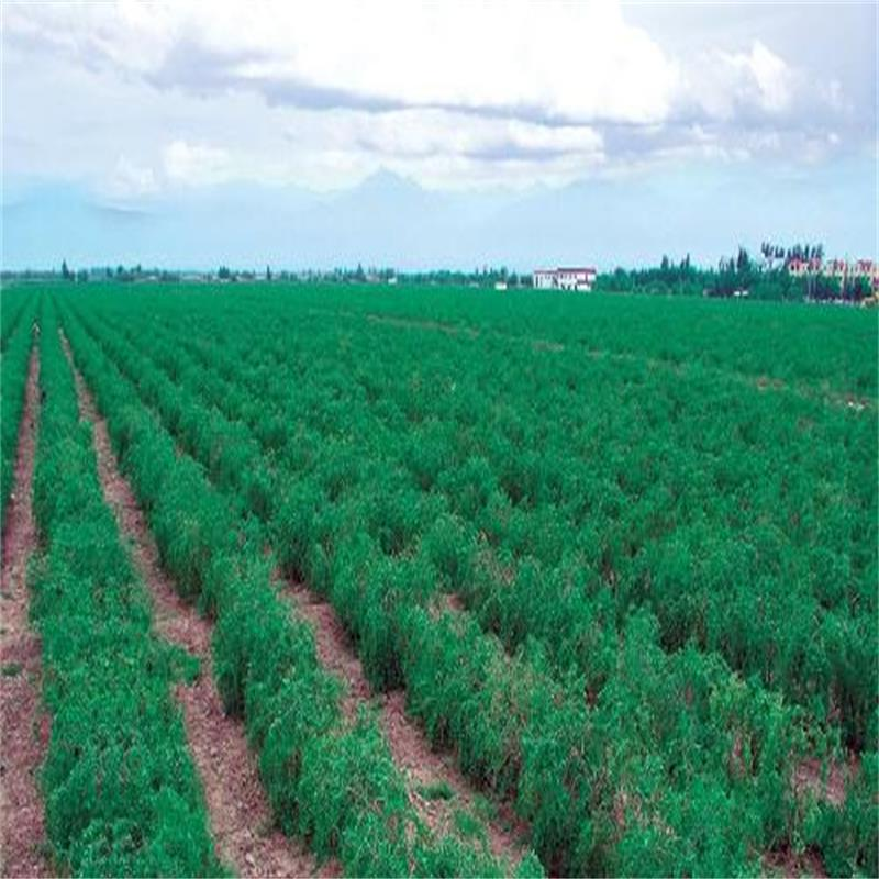 Ningxia Low agricultural residues Dried goji berry