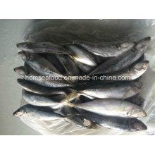 Big Size Horse Mackerel Fisch zum Verkauf