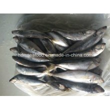 Big Size Horse Mackerel Fish for Sale