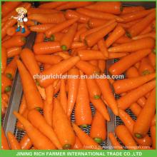 Nouvelle exportation de carottes chinoises chinoises